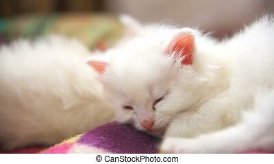 big face white kitten lying asleep on another white kitten -...