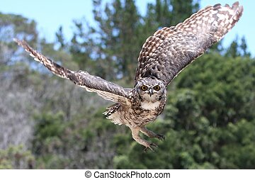 Eagle Owl in Flight - Spotted Eagle Owl raptor coming in to...