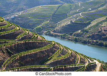 Grapevines of the Douro Valley - Rows of grapevines...