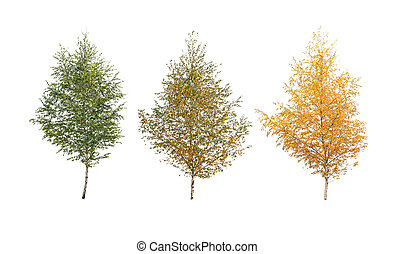 three birch tree isolated
