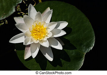 White waterlily with green leaf in pond