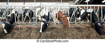 Feeding Cattle - Cattle feeding through the grates of a...