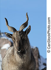 Young Markhor - Closeup of young markhor on background with...
