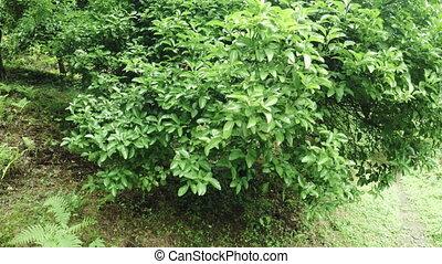 Unripe lemons on trees - Batumi Botanical Garden unripe...