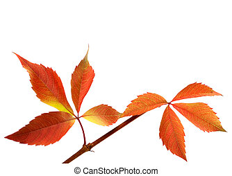Orange autumnal twig of grapes leaves Parthenocissus...