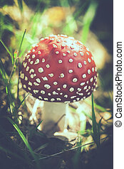 Fly agaric with tint - Fly agaric with toning - Amanita...