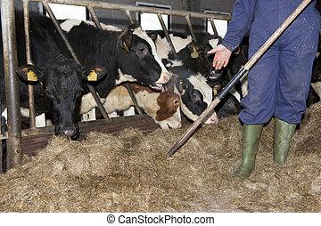 Feeding heifer