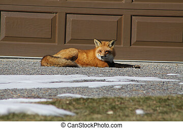 Red Fox laying in Drive way - Wild Red Fox on drive way of...