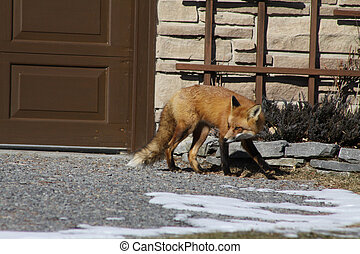Red Fox walking in Drive way - Wild Red Fox on drive way of...