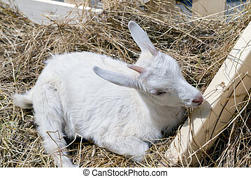 the young goat eating hay - young goat eating hay in a...