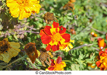 Tagetes flower - Orange and yellow tagetes flower