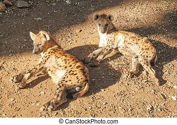 Cheetah (Acinonyx jubatus) Gepard Leopard