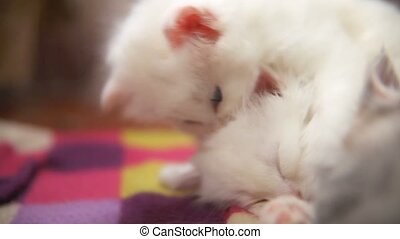 white two kitten playing sleeps bite each other one - white...
