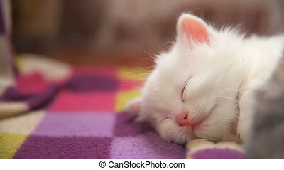 another white kitten big face lying sleep on - another white...