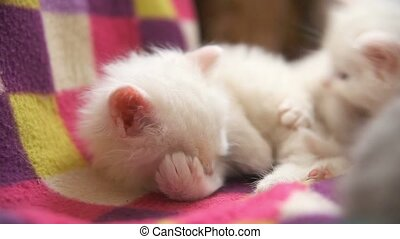 white kitten wash and sleep in the room close up - white...