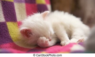 white kitten wash and sleep in room close up - white kitten...