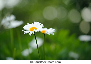 Beautiful Daisy Flowers Growing on Lawn in Summer -...