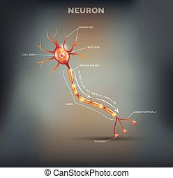 Neuron, nerve cell that is the main part of the nervous...
