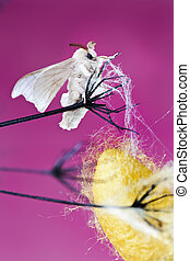 silk butterfly cocoon pink background