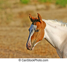 Paint Colt - Arizona horse