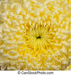Close up of yellow pom pom chrysanthemum flower