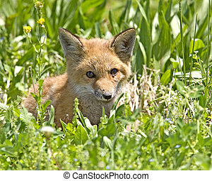 Red Fox - Vulpes vulpes - kit at den
