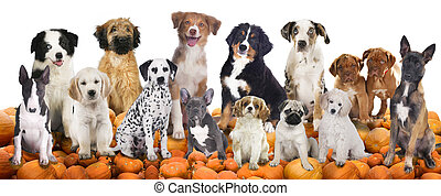 Big group of dogs sitting on pumpkins isolated