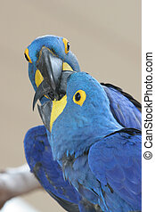 azul, Papagaio