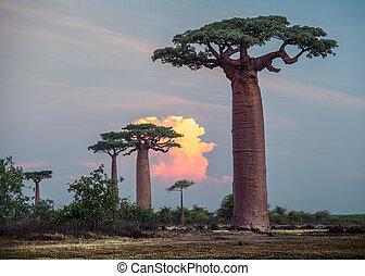 Madagascar. Baobab trees - Baobab trees at sunset....