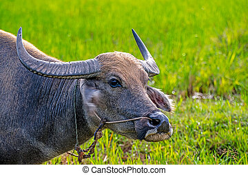 Water Buffalo. - Close Up head of Water Buffalo in pastures.