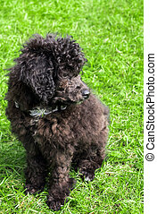 Black Poodle Puppy on green background