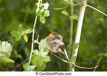 Robin Redbreast - a little robin perched on a branch