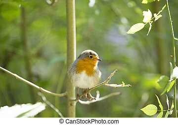 Robin Redbreast - little robin perched on a branch