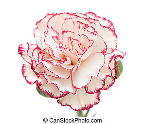 variegated carnation - variegated white and magenta...