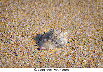 Veined Rapa Whelk on the Sand