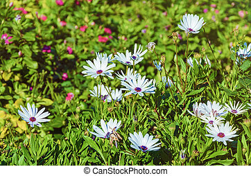 Flowers of Osteospermum in the Grass Shallow DoF