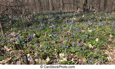 Blue Colorful Snowdrop in Early Spring Forest Downscaled...