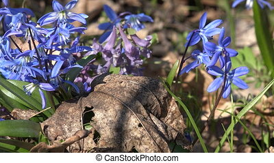 Blue Colorful Snowdrop in Early Spring Forest. Downscaled...