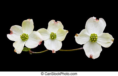 Dogwood with Clipping Path - Dogwood flowers on black...