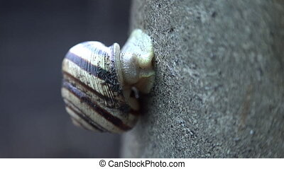 Slow Moving of Funny Snail on the Gray Background - Slow...