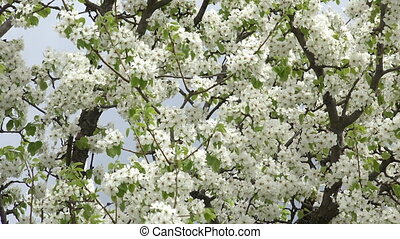 Blossoms Cherry Tree with Gray Sky Background - Blossoms...