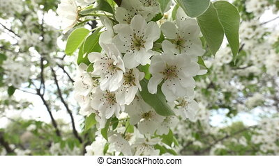 Blossoms Cherry Tree with Gray Sky Background Zoom inout -...