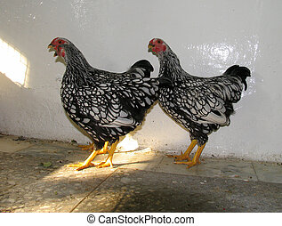 Hens - Black Hens