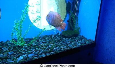 Big Monster Fish in Aquarium. Blue background