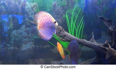 Cute Orange Fish in Aquarium Blue background Downscaled from...