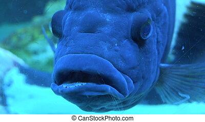 Big Blue Monster Fish in Aquarium. Blue background