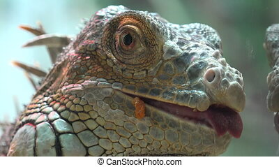 Close Up View Of Iguana - Close Up View Of Iguana Downscaled...