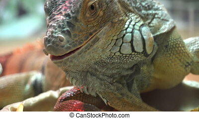 Close Up Iguana Eat Carrot - Close Up Iguana Eat Carrot...