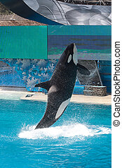 Whale leaping out of the Water - Killer Whale jumping in a...