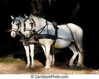 Couple of white work horses hitched to a wagon Dark...